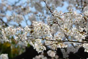 Sakura201803